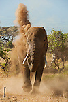 A bull African elephant blows red dust over his back to help cool and protect his skin from the hot sun in Amboseli National Park, Kenya.