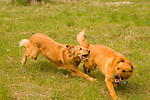Golden Retriever chasing another dog in a field