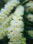Spike Wattle-Acacia oxycedrus