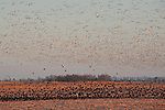 Snow geese (Chen caerulescens) and Red-winged Blackbird (Agelaius phoeniceus) at sunrise, Pocosin Lakes National Wildlife Refuge