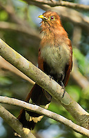 513530013 a wild squirrel cuckoo piaya cayona perches in a tree on a private ranch in tamaulipas state mexico