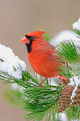 Male Cardinal (Cardinalis cardinalis) in a snowy conifer, Eastern North America.