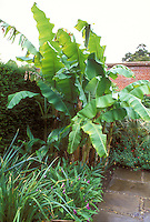 Musa basjoo Banana tree growing in garden