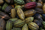 The community of La Cerca primarily depends on the cultivation of cacao and the sale of their respective cocoa beans. Trees that have stood for generations continue to produce cacao pods year-round in this extraordinarily fertile region of the Dominican Cibao. Barrick and Goldcorp's Pueblo Viejo open-pit gold mine threatens the cocoa-bean producing community of La Cerca. Cotuí, Sánchez Ramírez, Dominican Republic. April 2012.