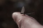 A detail photo of a blue-winged olive mayfly.