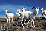 Dall's Sheep, Ovis dalli, Denali National Park, Alaska, USA