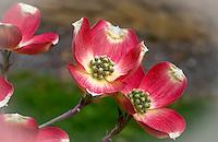 Cherokee Brave Pink Dogwood