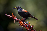 A North Island Saddleback feeds on the flowers of a Flax on Tiritiri Matangi Island in the Hauraki Gulf of Auckland, New Zealand..Only one of three New Zealand species of Wattlebirds, the other two being the Kokako and the extinct Huia, the Saddleback with its chestnut saddle and bright red fleshy appendages either side of the beak are now more commonly found on predator free offshore islands and in mainland sanctuaries. Their habit of feeding on and nesting near the forest floor made them very susceptible to predation by the many introduced mamals, to the point that they vanished from the mainland..Most commonly feeding on insects and other invertebrates and fruits they will also take nectar when available, especially from the flowers of the New Zealand Flax.