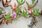 Plant Life Of Orond Beach Dune