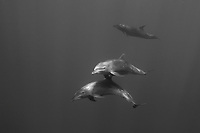 Dolphins swim by at the Dos Amigos Grande dive site near the Cocos Island off the coast of Costa Rica.