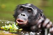 Bonobo mature male wading through water (Pan paniscus), Lola Ya Bonobo Sanctuary, Democratic Republic of Congo.