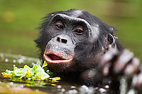 Bonobo mature male wading through water (Pan paniscus), Lola Ya Bonobo Sanctuary, Democratic Republic of Congo.