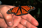 Monarch Butterfly, Danaus plexippus, El Chincua Nature Reserve, resting on hand with wings open, migration, roosting site, lifecycle metamorphosis orange pattern wing.Mexico....