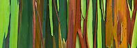 A close-up of rainbow eucalyptus tree bark, Maui.