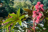 Ricinus communis Castor Bean Plant in flower, source of Ricin, poisonous toxin