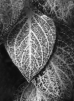 Black & White - Leaves