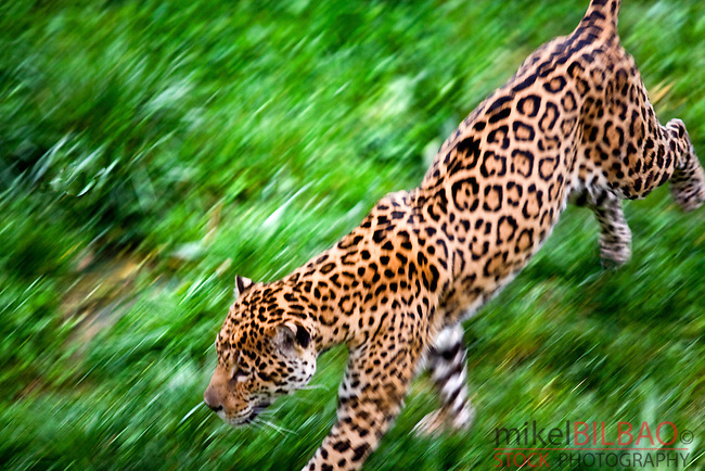 jaguar (Panthera onca) in motion. The biggest feline in the America ... Zoology Pictures Animals