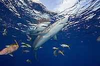 TH2565-D. Silky Sharks (Carcharhinus falciformis), widespread distribution throughout global tropical seas. Note teeth in open mouth of the shark behind. Cuba, Caribbean Sea.<br /> Photo Copyright &copy; Brandon Cole. All rights reserved worldwide.  www.brandoncole.com