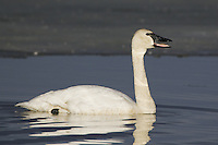 Tundra Swan swimming on an icy pond