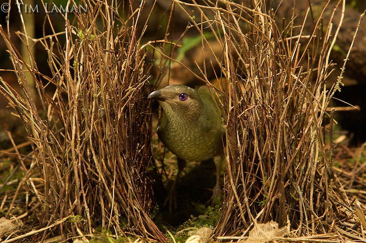 Satin Bowerbird (Ptilonorhynchus violaceus minor) female inspecting the bower of a male...This bower is decorated with all natural objects..Rain forest of the Atherton Tablelands..Queensland, Australia