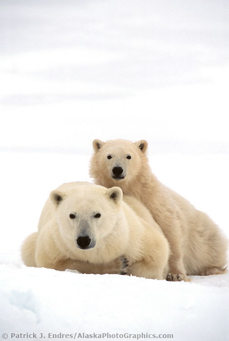 Polar bear sow and cub wait for the ice form on the Hudson bay in Churchill, Manitoba, CANADA