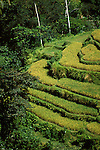 Rice Terraces, Ubud, Bali, Indonesia, photo bali204, Photo Copyright: Lee Foster, www.fostertravel.com, 510-549-2202, lee@fostertravel.com., rice, crop, agriculture, field, terrain, landscape, picturesque, vertical