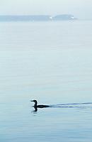 Loon in Georgian Bay with Flowerpot Island on Horizon