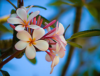 A close-up of a cluster of white plumeria flowers on the Big Island of Hawai'i.