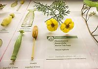 Mexican Tulip Poppy, Hunnemannia fumariifolia, Glass Flowers Exhibit Harvard Museum of Natural History