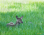 A deer rests in the tall grass of a meadow in Cades Cove in the Great Smoky Mountains National Park.
