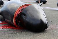 Whaling. Long-finned Pilot whales ( Globicephala melas ) Carcass from Grindadrap on harbour in Torshavn, Faroe Islands, North Atlantic