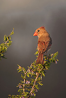 511650098 a wild female northern cardinal cardinalis cardinalis on santa clara ranch hidalgo county rio grande valley texas united states
