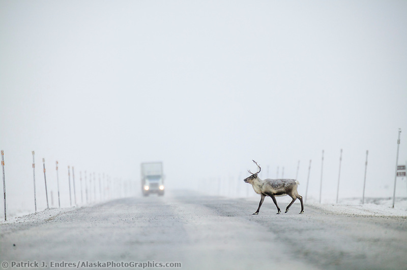 Caribou crosses the James Dalton in front of a Semi truck, arctic, Alaska