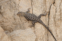 425900015 a wild male great basin fence lizard sceloporus occidentalis longipes perches on a rock along chalk cliffs road bishop california united states