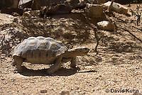 0609-1027  Desert Tortoise (Mojave Desert), Gopherus agassizii  © David Kuhn/Dwight Kuhn Photography
