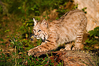 Bobcat stretching on a log in early morning sun - CA