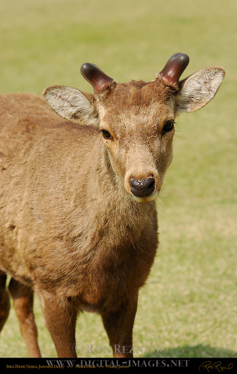 Sika Deer Portrait Shika Japanese Deer Spotted Deer Nara Park Nara Japan