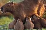 Capybara and newborns, Venezuela