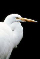 WETLAND BIRDS<br /> Egret Headshot<br /> (Casmerodius albus)