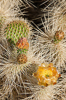 161260005 a wild mojave prickly pear cactus opuntia polycantha var erinacea produces large bright yellow flowers in the wash at darwin falls in owens valley inyo county california united states