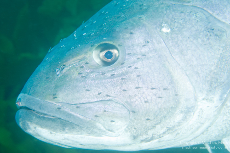 San Clemente Island, Channel Islands, California; a head shot of a Giant Sea Bass (Stereolepis gigas) fish as it swims over the sandy bottom at the edge of the Giant Kelp forest