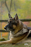 German Shepherd Dog Shopping cart has 3 Tabs:<br /> <br /> 1) Rights-Managed downloads for Commercial Use<br /> <br /> 2) Print sizes from wallet to 20x30<br /> <br /> 3) Merchandise items like T-shirts and refrigerator magnets