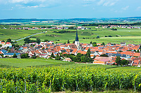 Chardonnay vines at the village of Chamery in the Champagne-Ardenne region of France