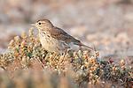 Lesser Short-toed Lark, Calandrella rufescens,Tindaya Plain, Fuerteventura, Canary Islands, Spain, on ground