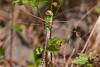 339430003 a wild female common green darner anax junius perches on a plant vine in the lance rosier unit of big thicket preserve in hardin county texas