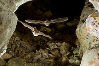 Mexican Brown Bats or Cave Myotis Bats flying in a cave (Myotis velifer)