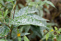 Powdery mildew on Helianthus 'Lemon Queen' diseased leaves, garden problem pest disease on foliage, white powder covering over leaf