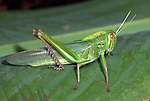 Jungle Grasshopper, Orthoptera sp, Thailand, green, large back legs for jumping
