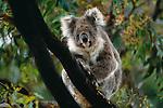 Koala, Kangaroo Island, Australia