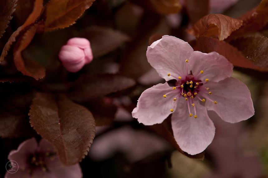 Detail of an ornamental flowering cherry plum (prunus pissardii nigra).